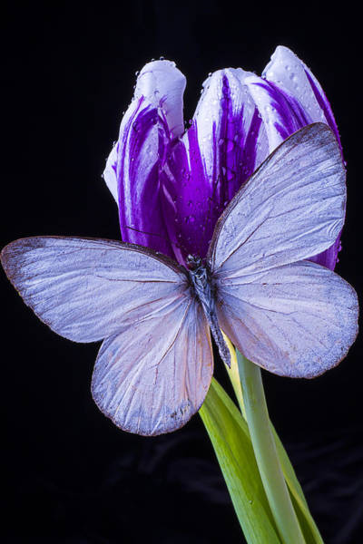Purple Tulip Photograph - White Butterfly On Purple Tulip by Garry Gay