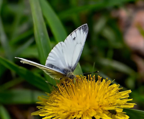 Photograph - White Butterfly On Yellow Flower  By Leif Sohlman by Leif Sohlman