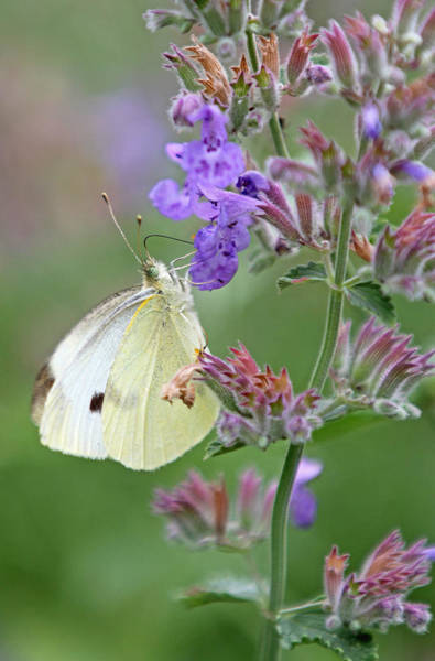 Photograph - White Cabbage Butterfly by Juergen Roth