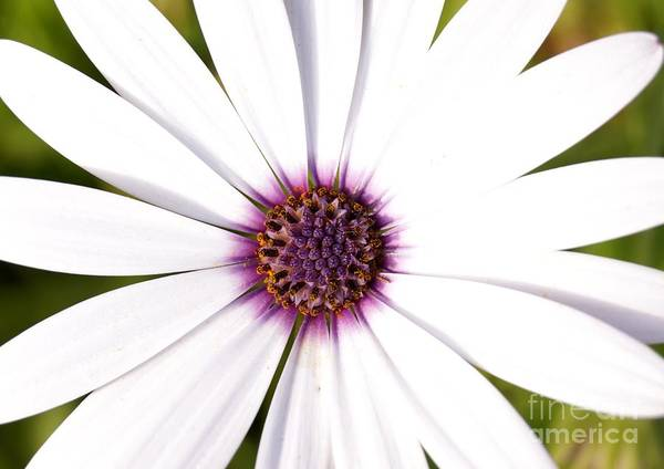 Photograph - White Cape Daisy by Kerri Mortenson
