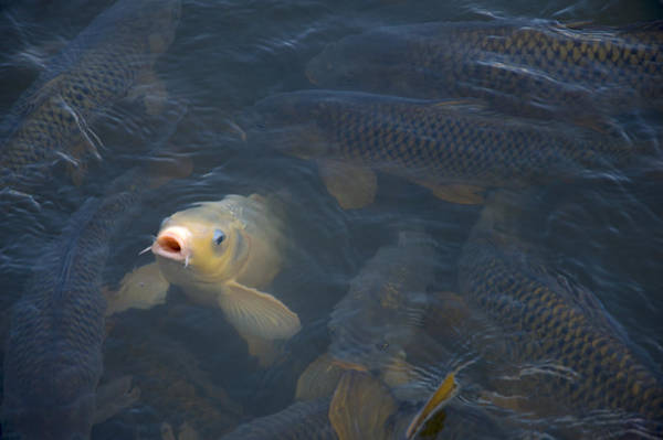 Carp Photograph - White Carp In The Lake by Chris Flees