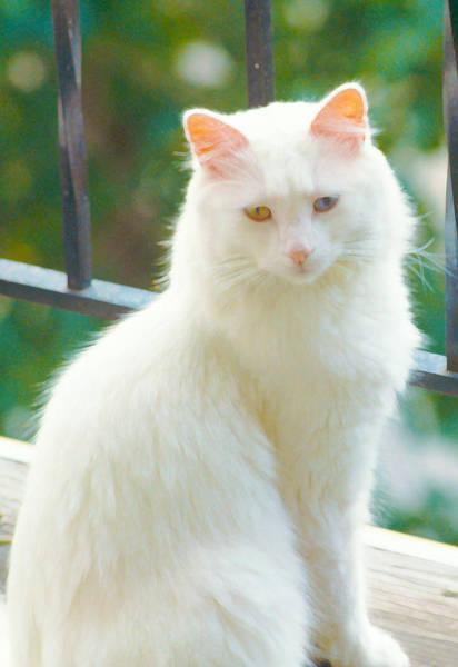 Photograph - White Cat by Lynn Hansen