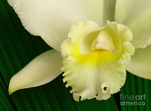 James Temple Photograph - White Cattleya Orchid by James Temple