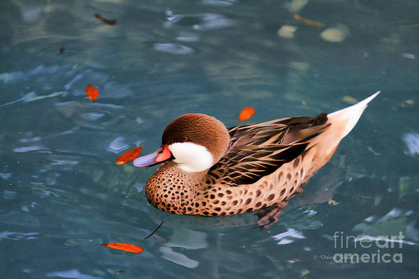 Photograph - White-cheeked Pintail by Deborah Benoit