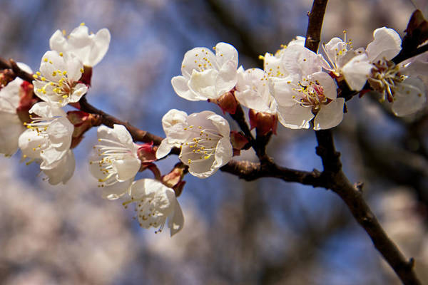 Photograph - White Cherry Blossoms by Mary Lee Dereske