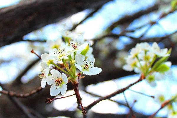 Photograph - White Cherry  by Candice Trimble