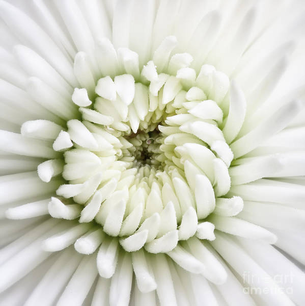 Photograph - White Chrysanthemum 2 by Kate McKenna