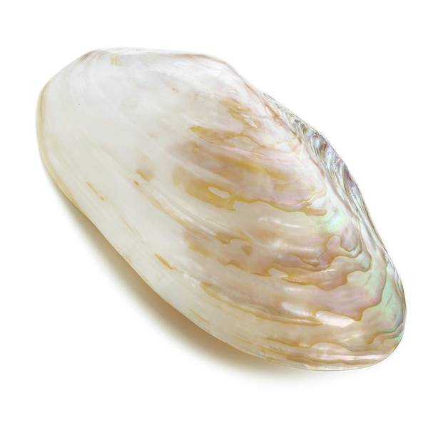 Mollusca Photograph - White Coloured Abalone Shell by Science Photo Library