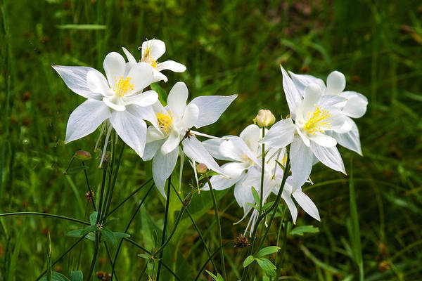 Photograph - White Columbine by TL  Mair