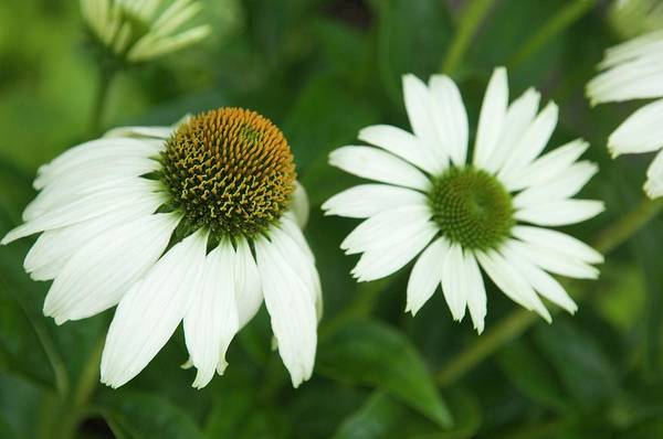 Purpurea Photograph - White Coneflower Cultivar by Lawrence Lawry/science Photo Library