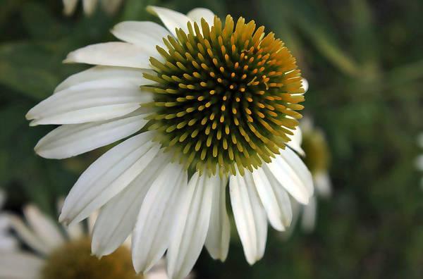 Manito Park Spokane Photograph - White Coneflower by Ellen Tully