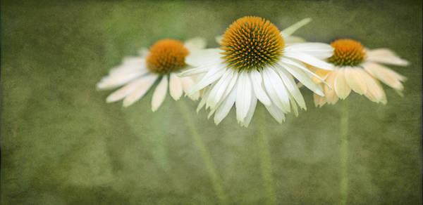 Coneflowers Photograph - White Coneflower Trio  2 by Rebecca Cozart