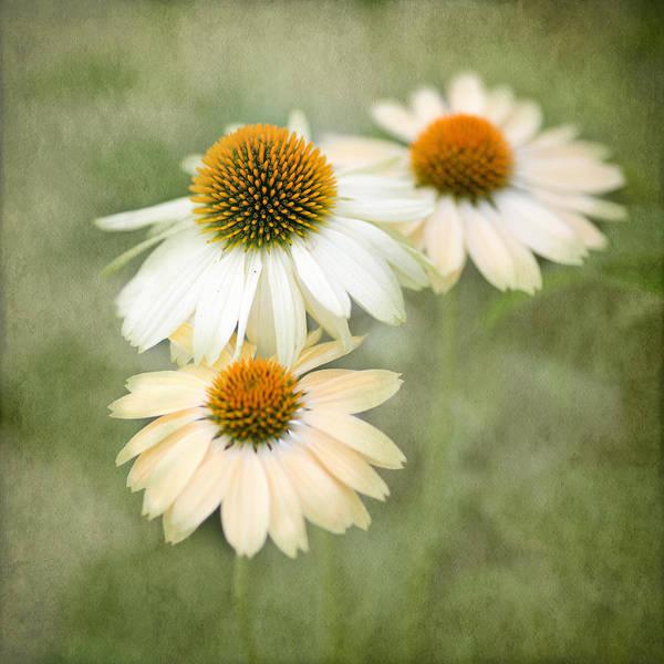 Cornflowers Photograph - White Coneflower Trio by Rebecca Cozart