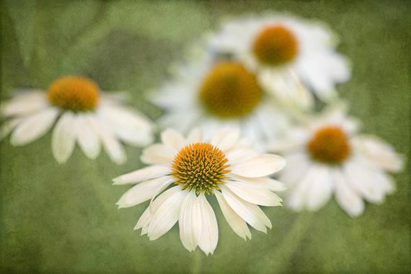 Coneflowers Photograph - White Coneflowers by Rebecca Cozart