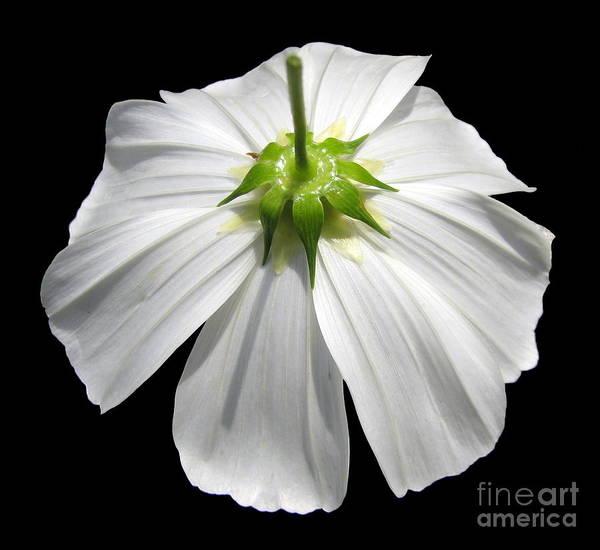 Photograph - White Cosmos Flower Closeup by Rose Santuci-Sofranko