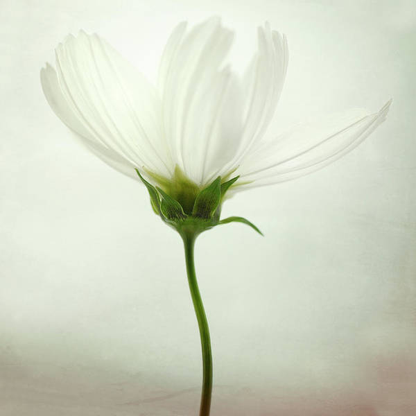 Bright Photograph - White Cosmos by Lotte Gr?nkj?r