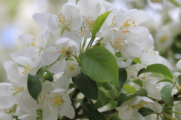 Photograph - White Crabapple Blossom Cluster by Donna L Munro