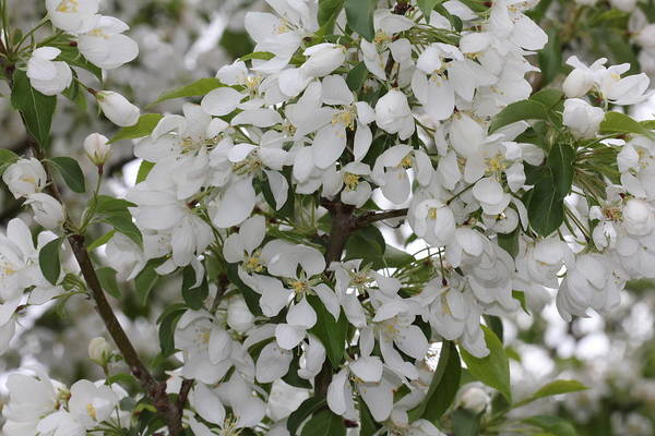 Photograph - White Crabapple Blossom Expanse by Donna L Munro