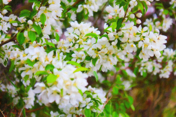 Photograph - White Crabapple Floral 2 by Donna L Munro
