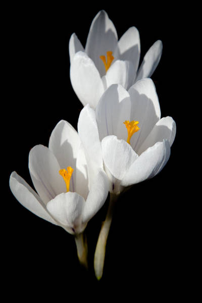 David Patterson - White Crocuses