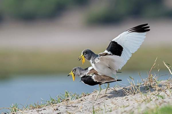 White-crowned Lapwings Mating Art Print