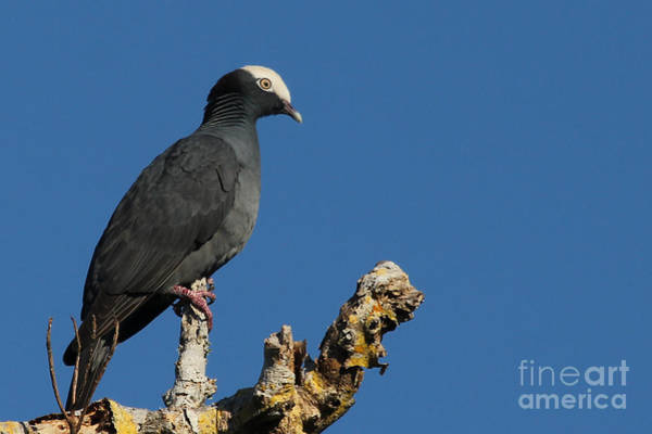 Photograph - White-crowned Pigeon by Meg Rousher