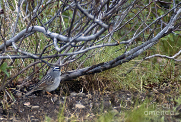 Photograph - White Crowned Sparrow by Cindy Murphy - NightVisions