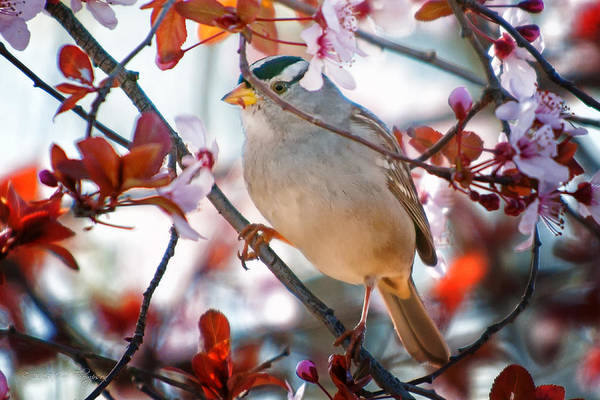 Photograph - White-crowned Sparrow by Jim Thompson