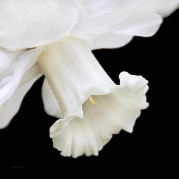 Black Narcissus Photograph - White Daffodil Flower Macro by Jennie Marie Schell