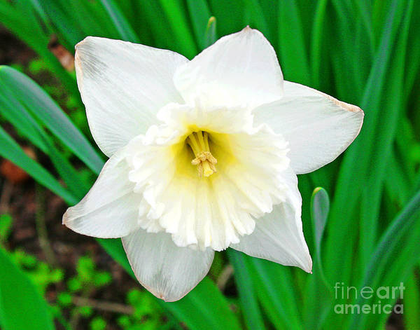Photograph - White Daffodil Smile by Larry Oskin