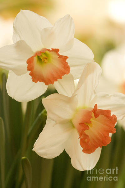 Photograph - White Daffodils 1 by Chris Scroggins
