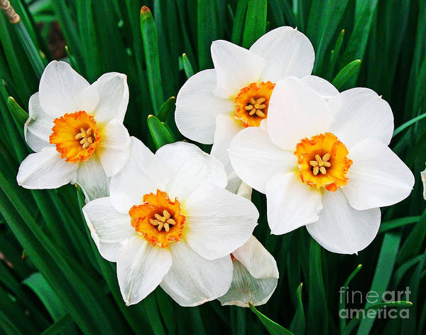 Photograph - White Daffodils Shine by Larry Oskin