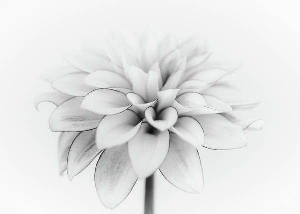 Wall Art - Photograph - White Dahlia by Lotte Gr?nkj?r