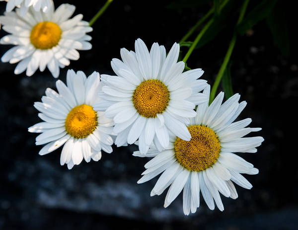 Photograph - White Daisies by Jim DeLillo