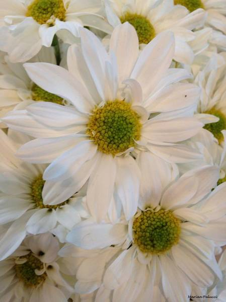 Photograph - White Daisies by Marian Palucci-Lonzetta