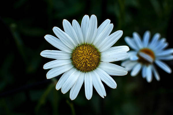 Photograph - White Daisy At Riverside Park by Bill Swartwout Photography