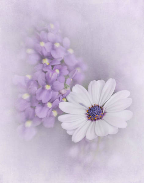 African Daisies Photograph - White Daisy by David and Carol Kelly