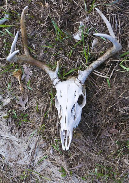 White Deer Skull In Grass Art Print