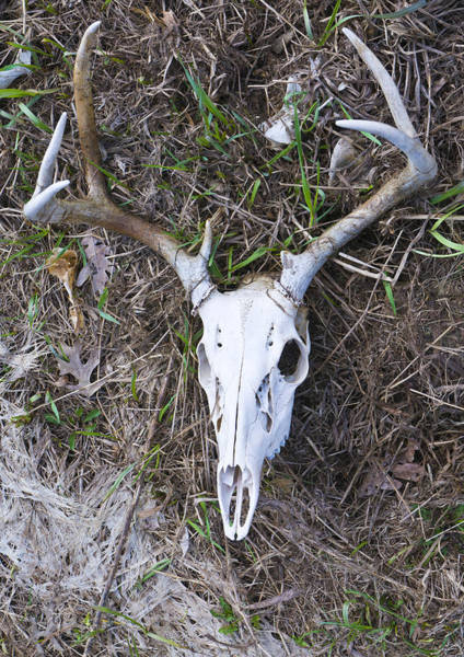 Photograph - White Deer Skull In Grass by Lynn Hansen