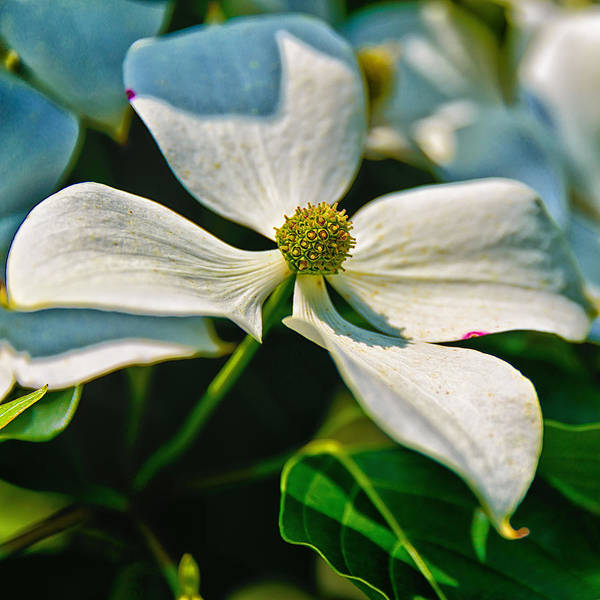 Photograph - White Dogwood Flower by Louis Dallara