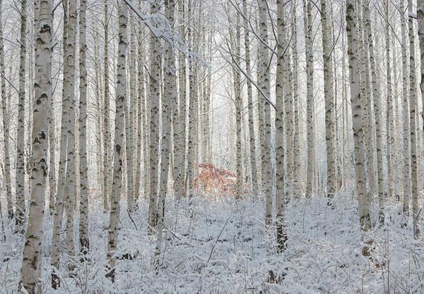 Birch Photograph - White by Donghee, Han