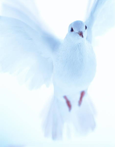 Pigeon Photograph - White Dove by Gustoimages/science Photo Library