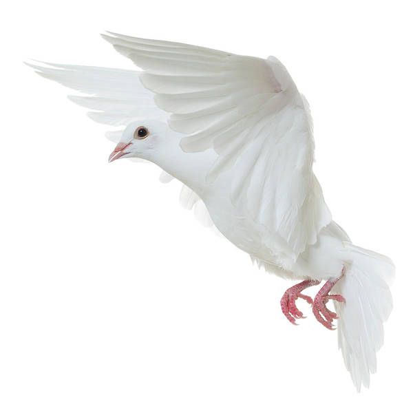 Released Photograph - White Dove Isolated by Proxyminder