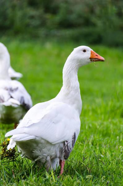 Duck Meat Photograph - White Duck  by Sotiris Filippou