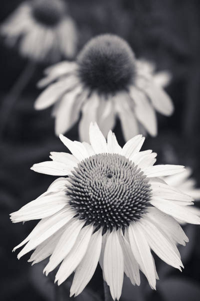 Photograph - White Echinacea Flower Or Coneflower by Adam Romanowicz