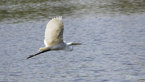 Photograph - White Egret Flying by Diana Haronis