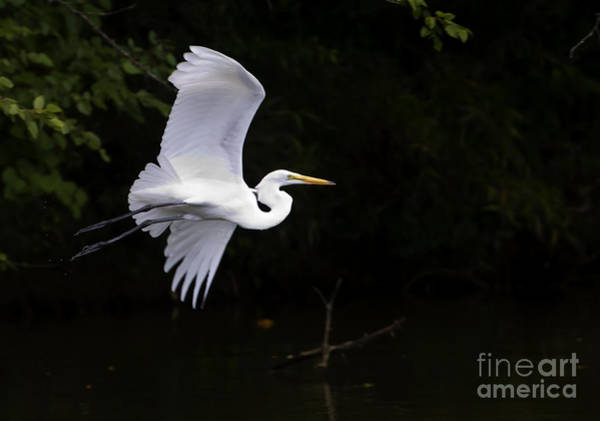 Coosa River Photograph - White Egret In Flight  #0717 by J L Woody Wooden