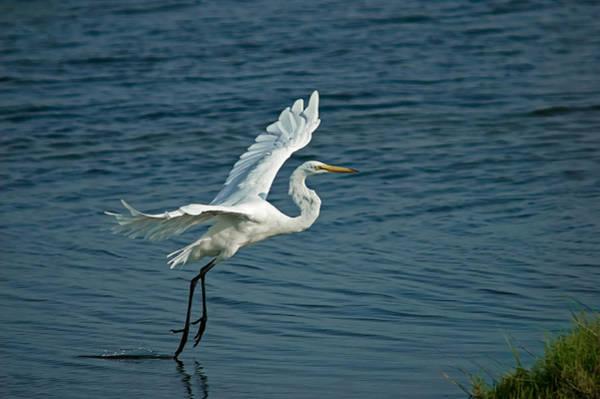 Egret Digital Art - White Egret Landing by Ernie Echols