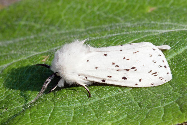 Ermine Wall Art - Photograph - White Ermine Moth by John Devries/science Photo Library