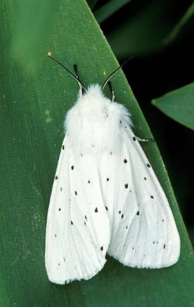 Ermine Wall Art - Photograph - White Ermine Moth by Pekka Parviainen/science Photo Library